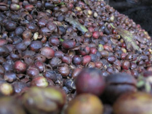 coffees_husks_in_Vietnam